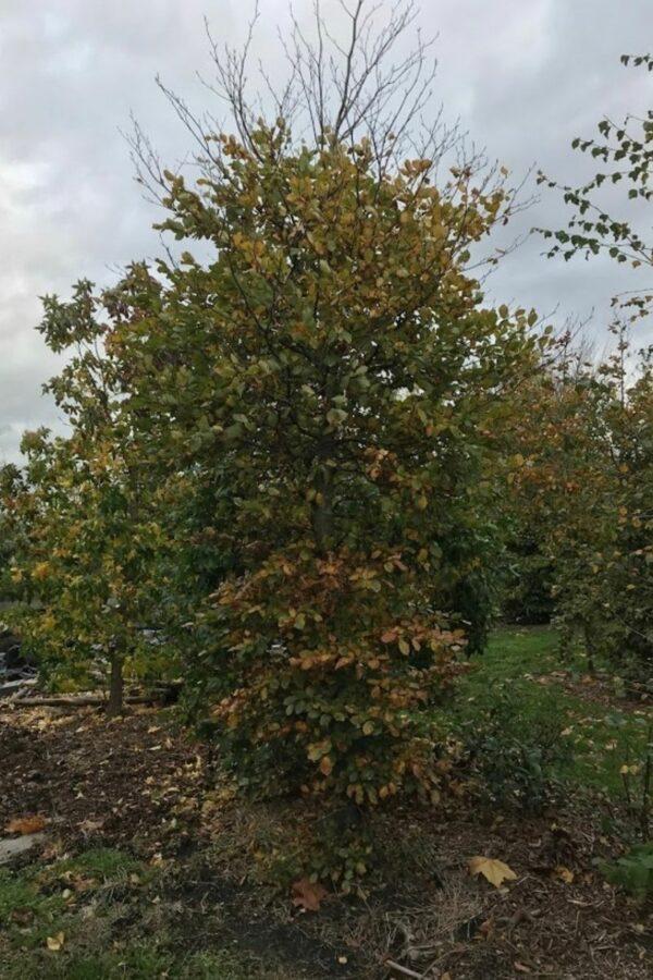 Fagus sylvatica 'Atropurpurea' | Rode Beuk