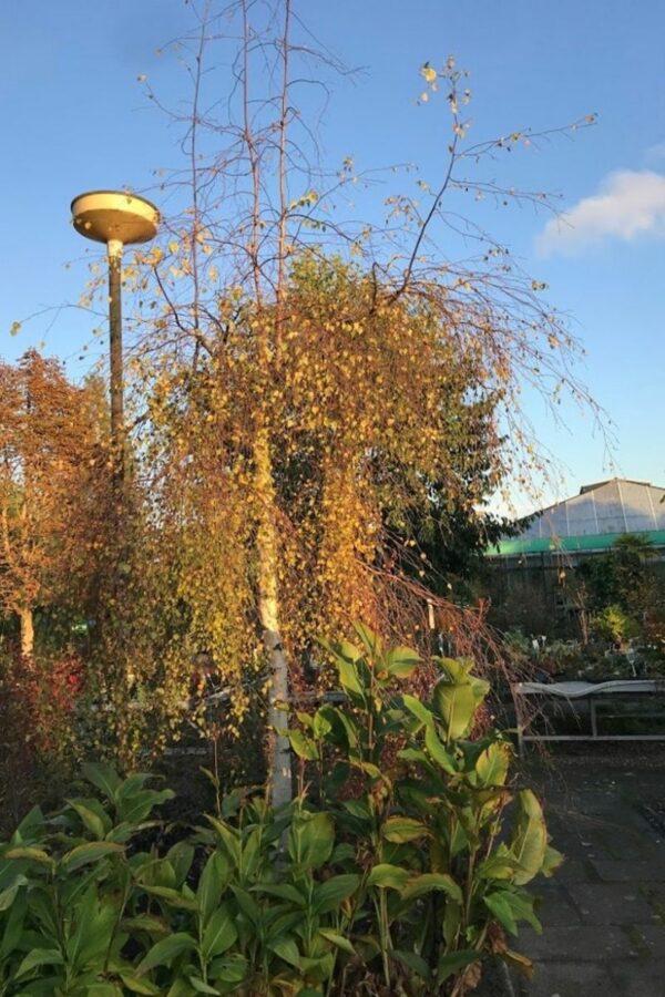 Betula pendula 'Youngii' | Prieelberk of treurberk