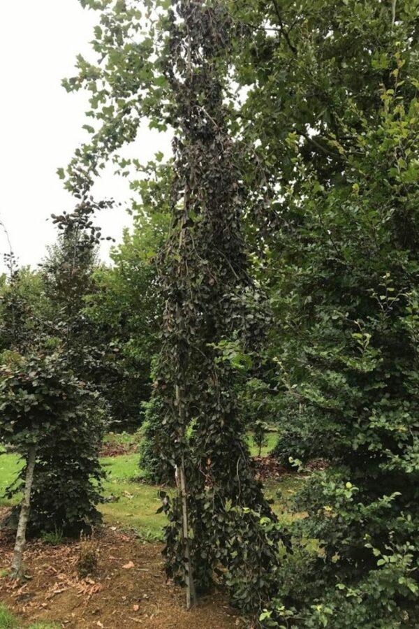 Fagus sylvatica 'Atropurpurea Pendula' | Rode treurbeuk