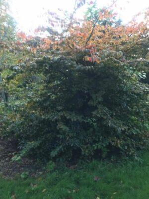 Parrotia persica | Perzisch ijzerhout of vlamboom