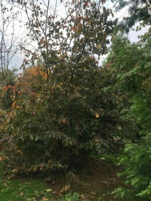 Parrotia persica | Vlamboom - perzisch ijzerhout