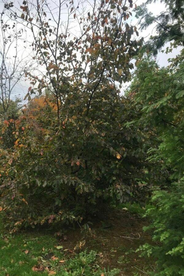 Parrotia persica   Vlamboom - perzisch ijzerhout
