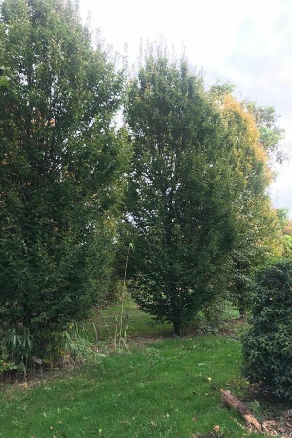 Carpinus betulus 'Fastigiata' | Zuil-Haagbeuk