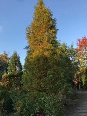 Metasequoia glyptostroboides | Chineese tempelboom