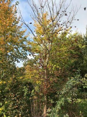Acer platanoides 'Crimson King' | Roodbladige noorse Esdoorn