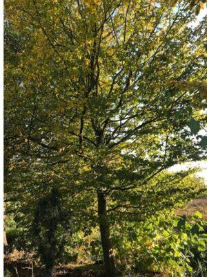 Carpinus betulus | Haagbeuk