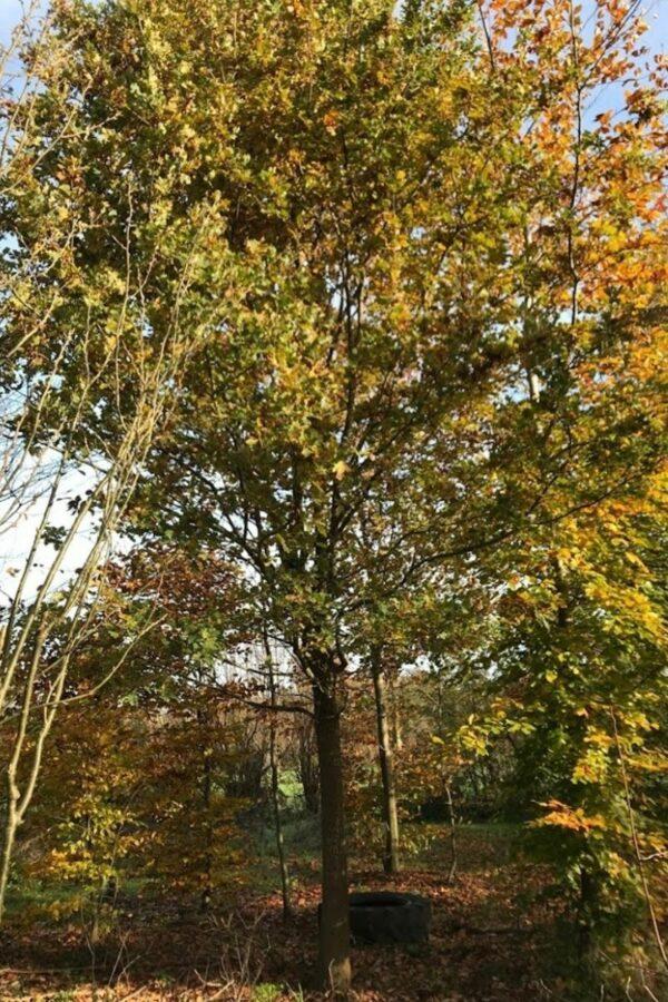 Quercus robur | Inlandse Eik
