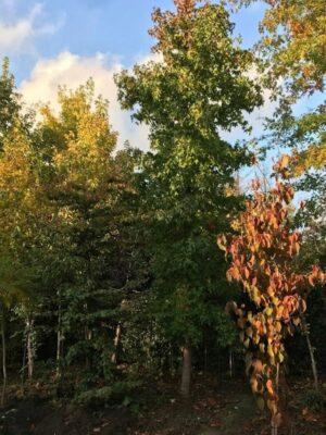 Liquidambar styraciflua | Amberboom