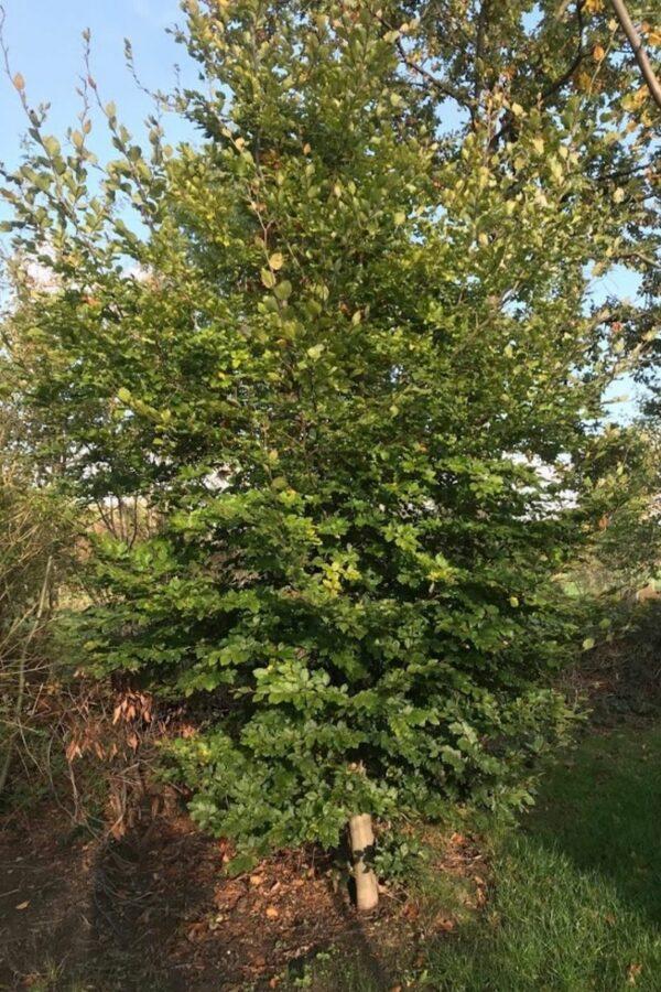 Fagus sylvatica | Groene beuk