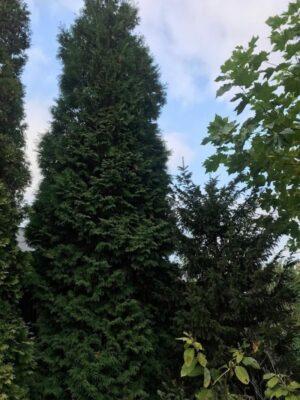Thuja occidentalis 'Brabant' | Levensboom
