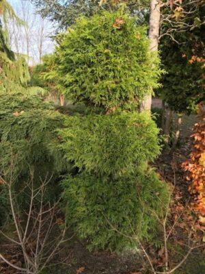 Thuja 'Smaragd' | Levensboom