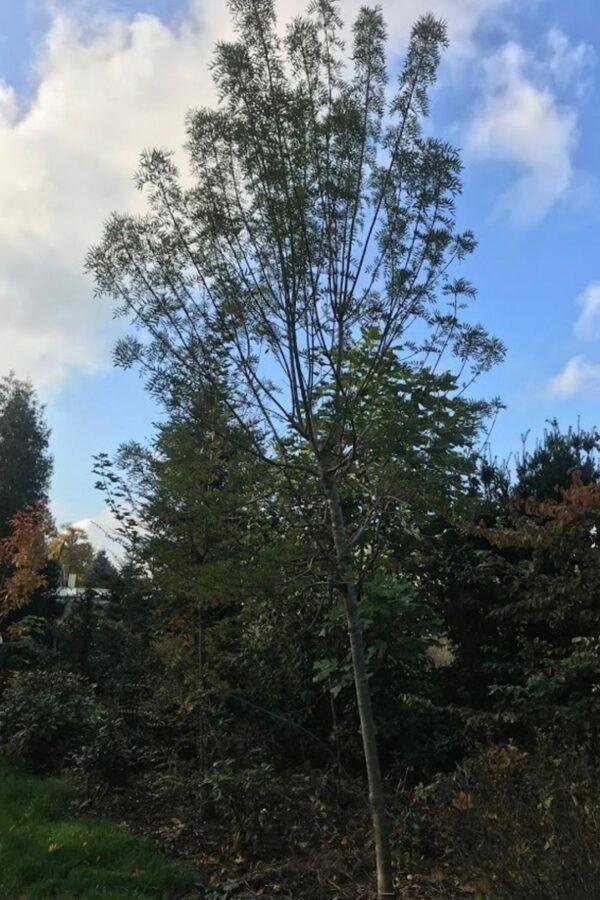 Fraxinus angustifolia 'Raywood' | Smalbladige Es