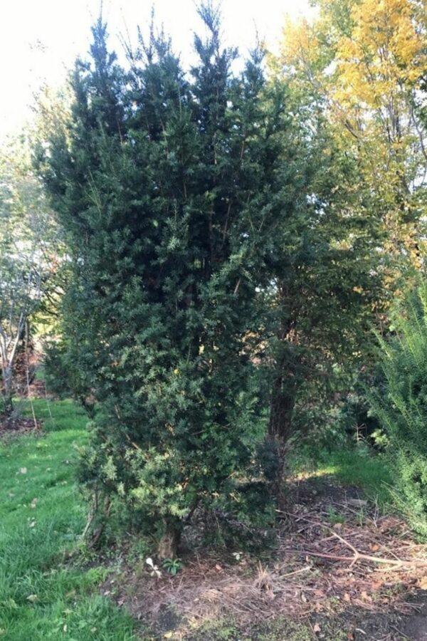 Taxus baccata 'Media Hicksii' | Venijnboom