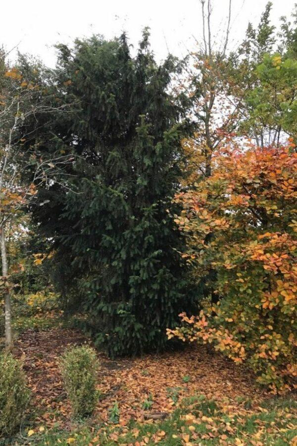 Taxus baccata | Venijnboom