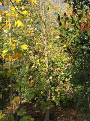 Corylus colurna | Boom hazelaar