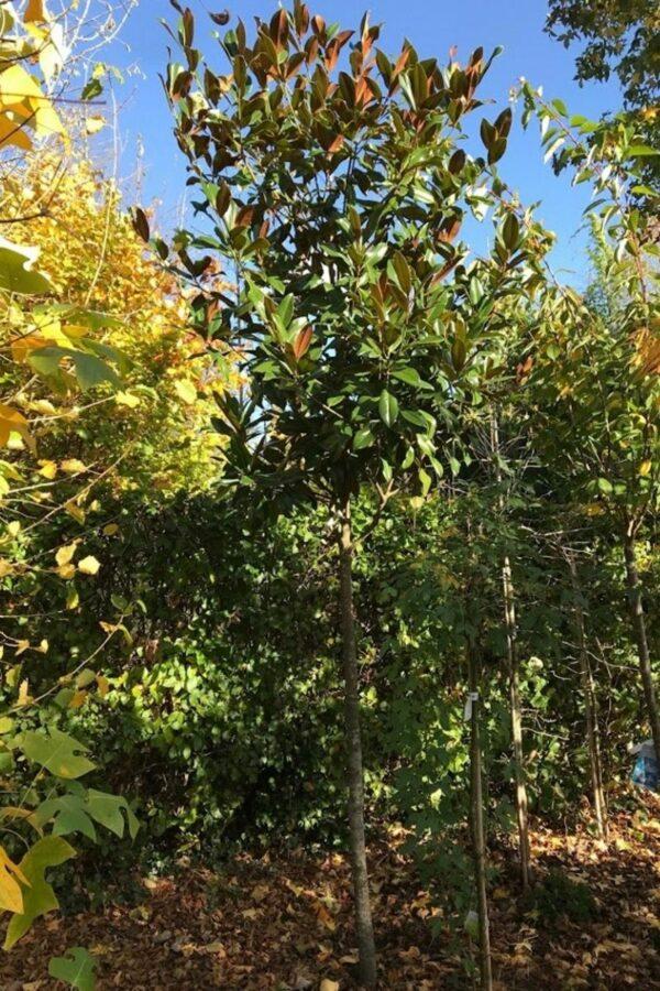 Magnolia grandiflora | Groenblijvende beverboom