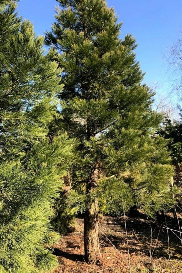 2 x Sequoiadendron giganteum | mammoetboom
