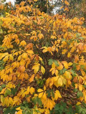 Aesculus parviflora | Struik paardenkastanje