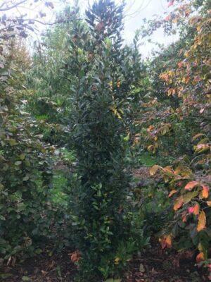Laurus nobilis | Echte laurier
