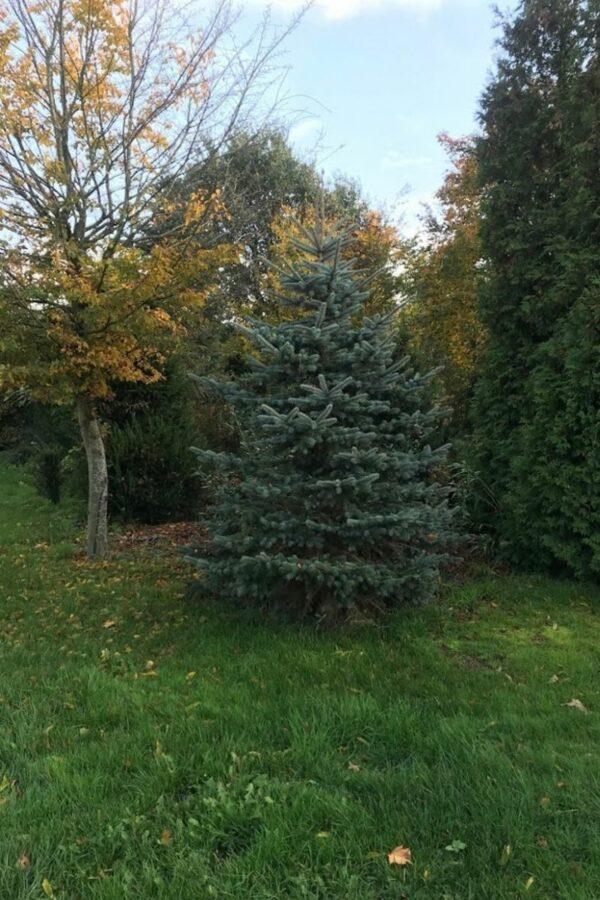 Picea pungens 'Glauca' | Blauwspar