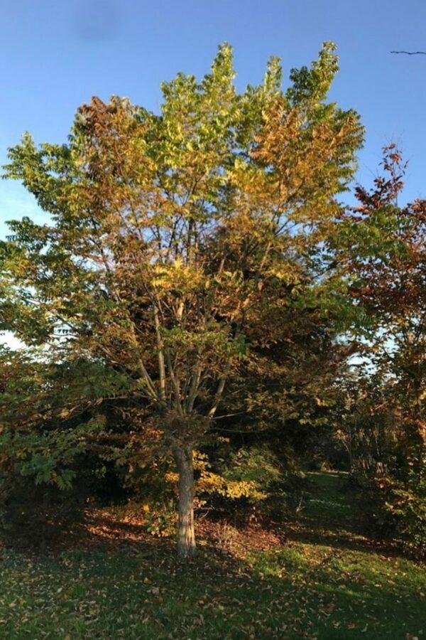 Phellodendron amurense | geelhout