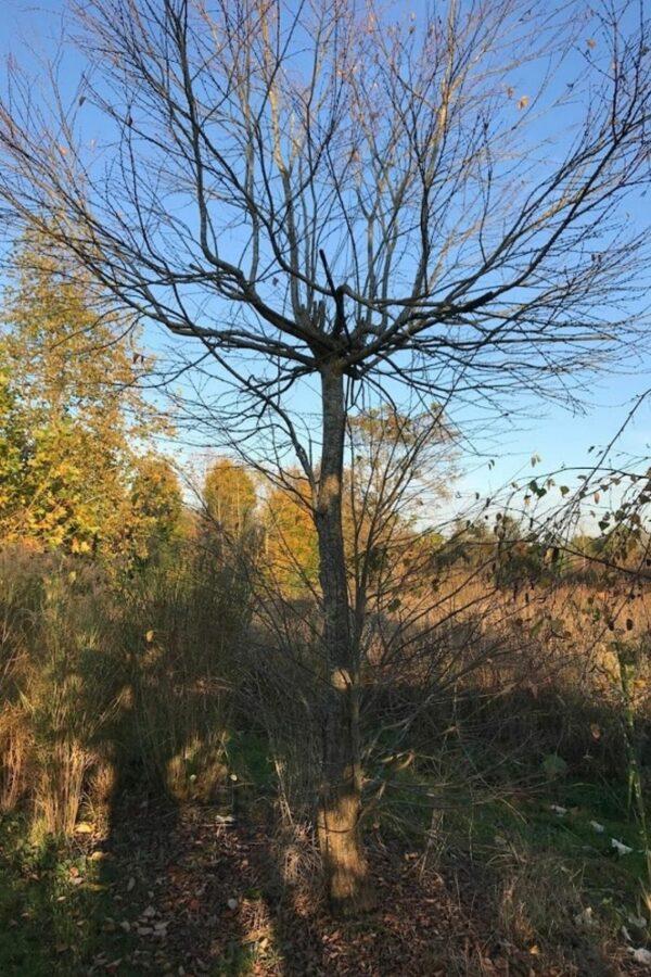 Cercidiphyllum japonicum | Katsura boom