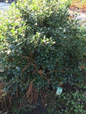 Osmanthus heterophyllus | Schijnhulst