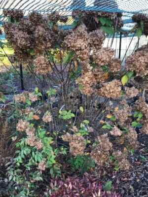 Hydrangea paniculata 'Lime light' | Schijnhulst