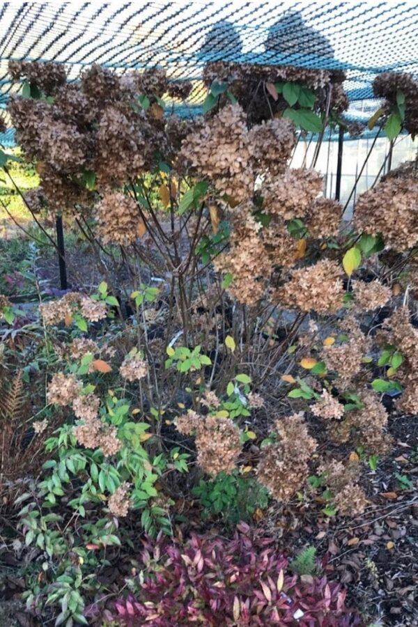 Hydrangea paniculata 'Lime light' | Schijnhulst