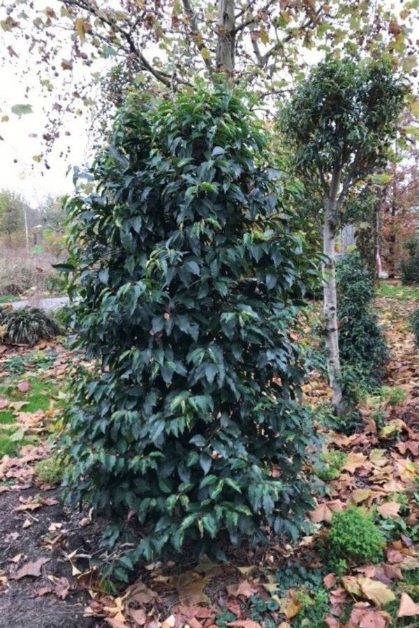 Prunus lusitanica 'Latifolia' | Portugese laurier