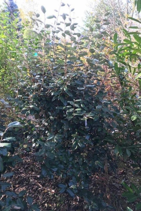 Elaeagnus ebbingii | Olijfwilg