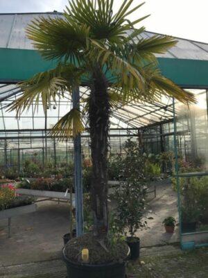 Trachycarpus fortunei | Dadelpalm